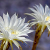 Night blooming cactus blossoms