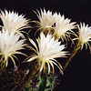 Night-blooming cereus