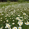 West Fork Daisies