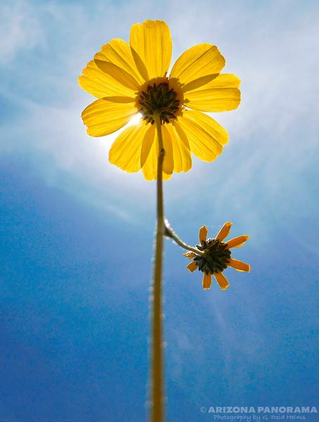 Brittlebush bloom