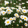 Black River Daisies