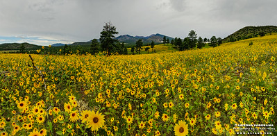 Daisy Panorama