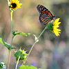 Monarch Butterfly and Sunflowers