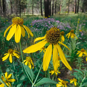 Cut-leaved Coneflowers