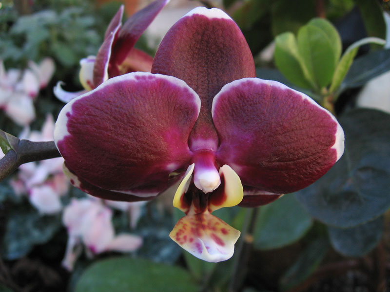 Burgundy colored orchid.
