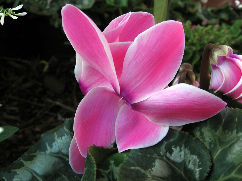 Pink cyclamen.<br /> The small white flower in the upper left is euphorbia.