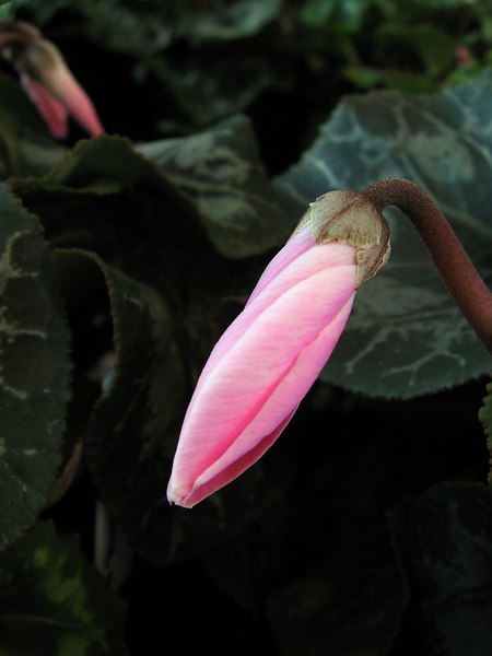 Pink cyclamen bud.
