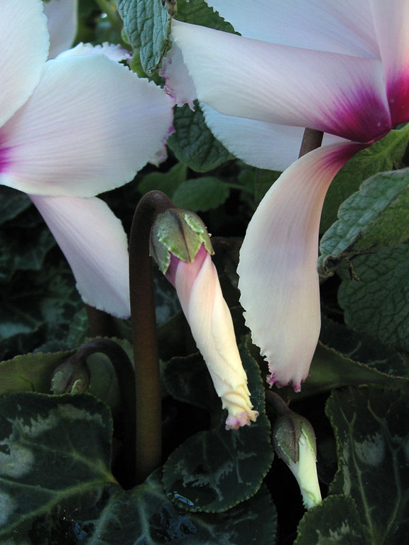 Cyclamen and buds.<br /> These flowers have a very nice fragrance. <br /> I would like to say they have a violet-like fragrance but I would need to experience<br /> their scent some more to be sure.