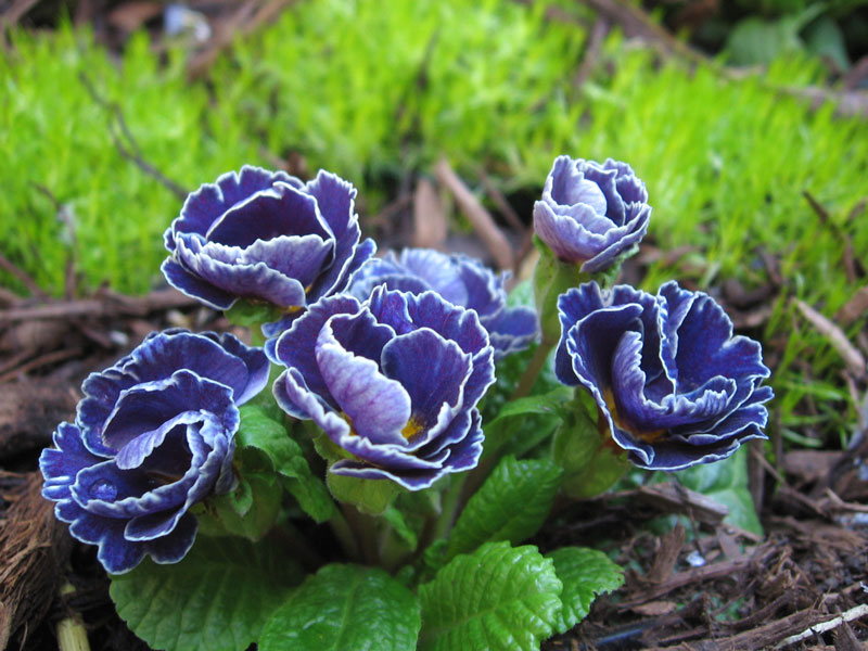 Primula and moss.