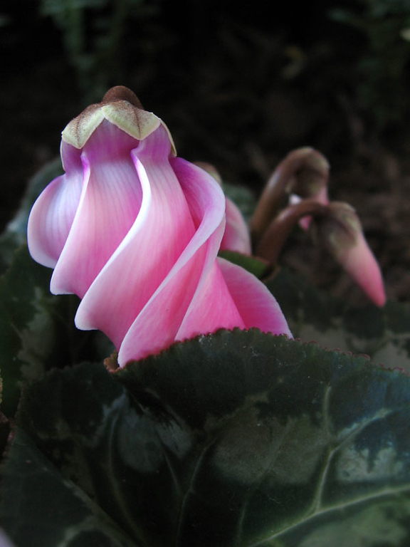 Cyclamen... as it unfolds.