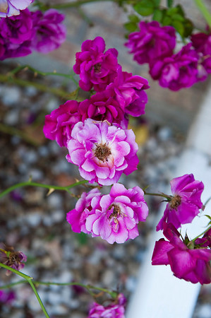 Flowers in front of our house 2009
