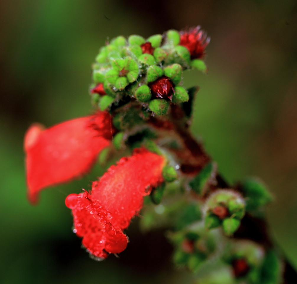 Kohleria spicata flowers, Alberto Manuel Brenes Biological Reserve, Costa Rica