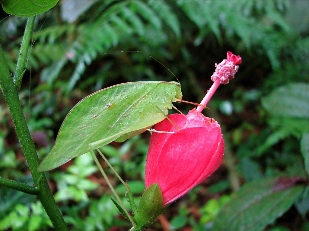 Katydid on a hibiscus flower in the forest at Alberto Manuel Brenes Biological Reserve, Costa Rica