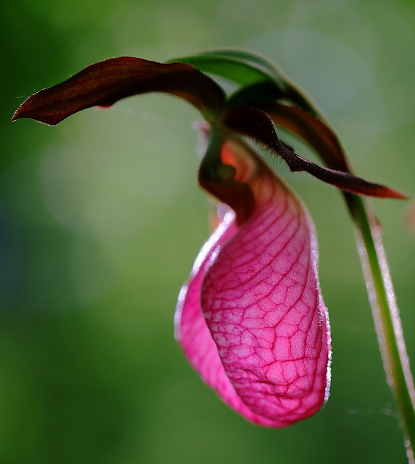 Pink Lady Slipper orchids (Cypripedium acaule) growing wild in the forest in central PA. My friend Pete alerted me to these and graciously shared the opportunity to photograph them on his land.