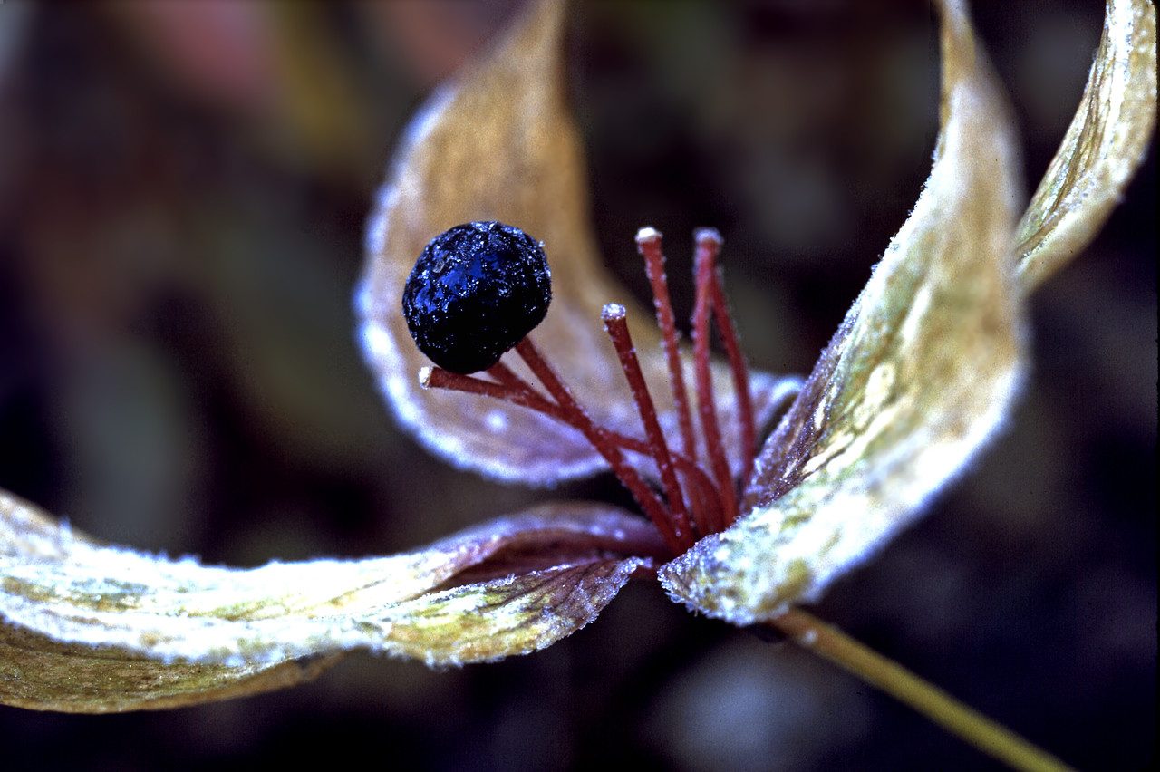 Fruit of an Indian cucumber root (Lily family: Medeola virginiana L) with early morning frost