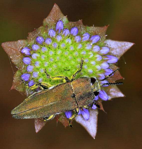 A buprestid beetle (Anthaxia hungarica).  Adults of this species feed on pollen.