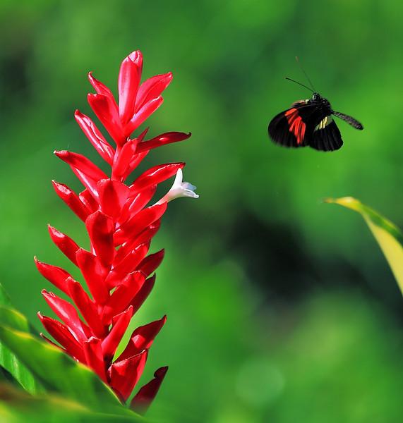 Heliconius erato visiting a red ginger flower, Campanario, Osa Peninsula, Costa Rica