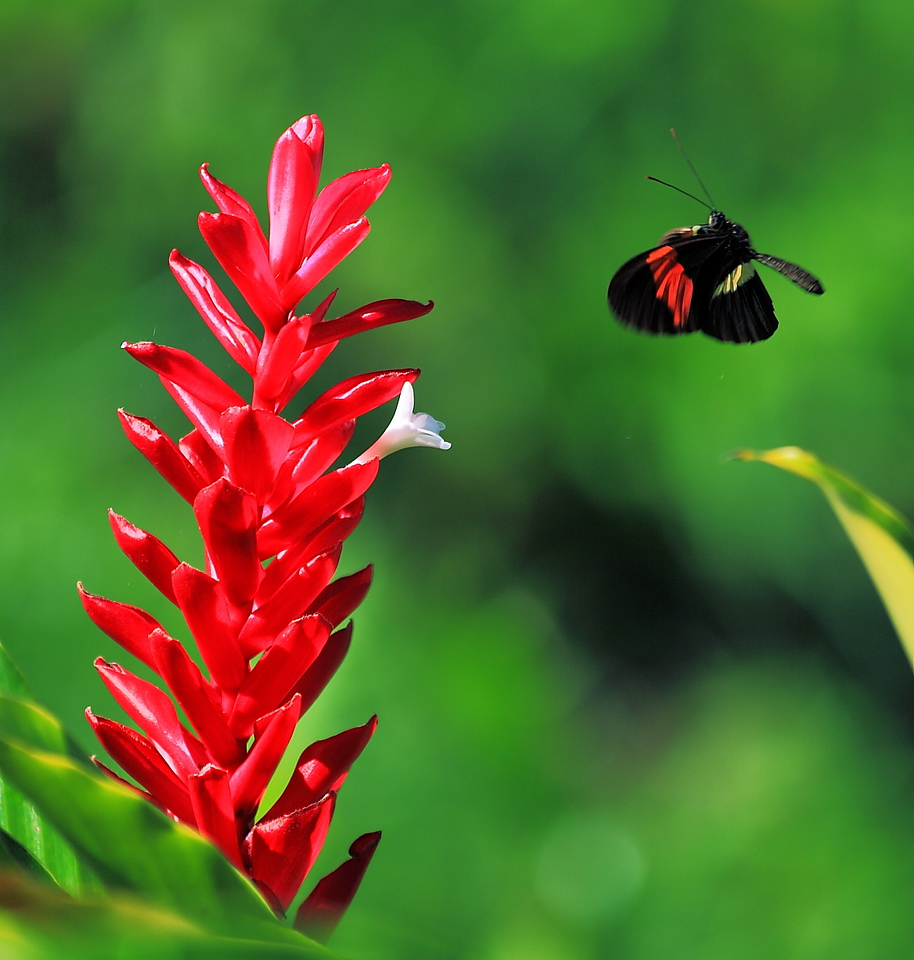 Heliconius erato visiting a red ginger flower, Campanario, Osa Peninsula, Costa Rica