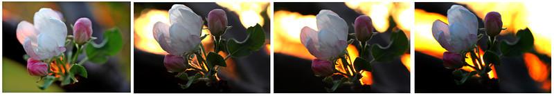 apple sunset series