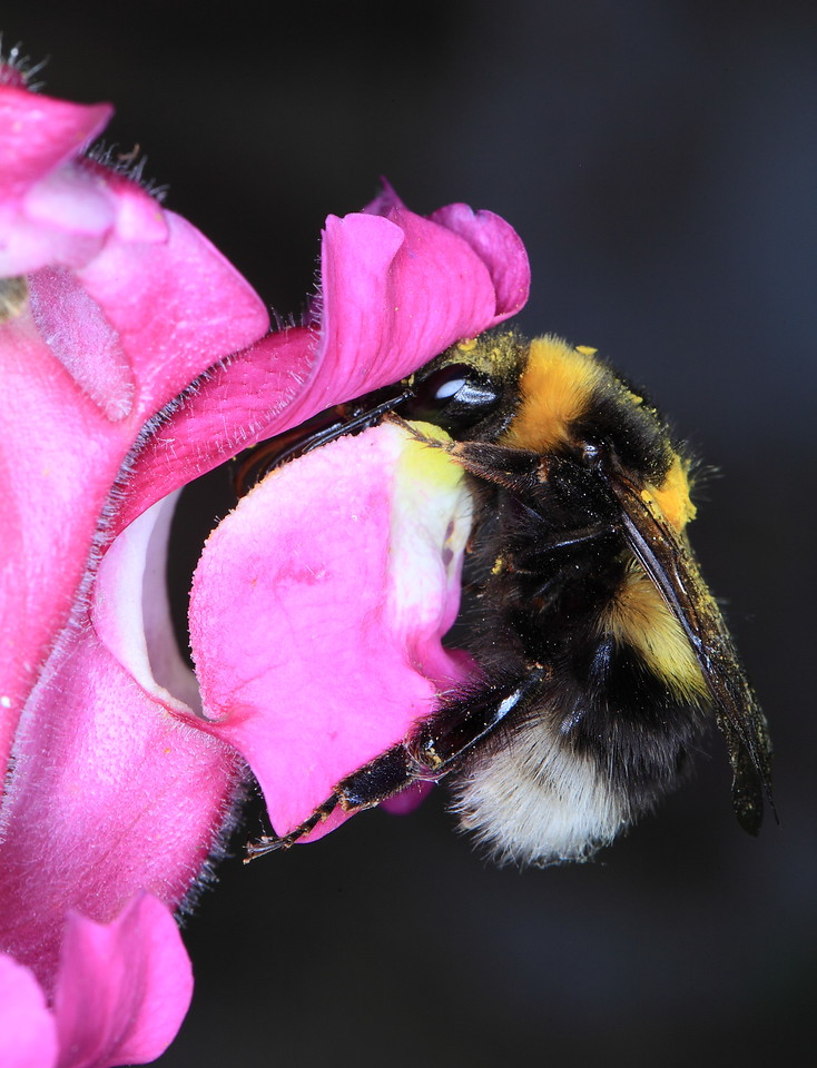 Bumblebee (Bombus terrestris) on turtlehead (Chelone glabra) flower.  This species has a hinged door preventing small insects from gaining access to the corolla and its nectar.  Bumblebees are large and strong enough to pull open the hinged door.
