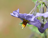 A closup of a single solanum flower.