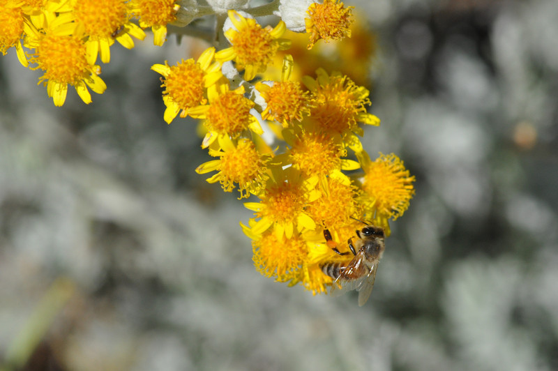 A honey bee on dusty miller blossoms.
