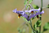 Solanum.  Since the flowers hang face down, I took the picture with the camera slightly below the flower.