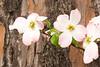 Dogwood blossom in front of trunk