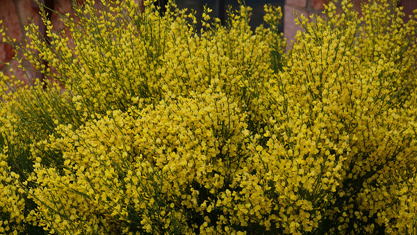 Spanish Gold Broom