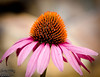 Just to refresh the memory, this is a 2011 Cone Flower from late last year.