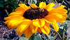 Bee_on_Sunflower