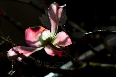 Flower pictured :: Dogwood  Flower provided by :: Whole Foods  041115_008233 ICC sRGB 16x24 pic