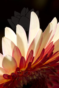 Flamingo  Flower pictured :: Gerbera Daisy  Flower provided by :: Babylon Floral  012316_015869 v2 ICC sRGB 16x24