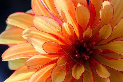 Peach Bellini  Flower pictured :: Dahlia  Flower provided by :: Tagawa Gardens  042813_010858 ICC sRGB 16x24 pic