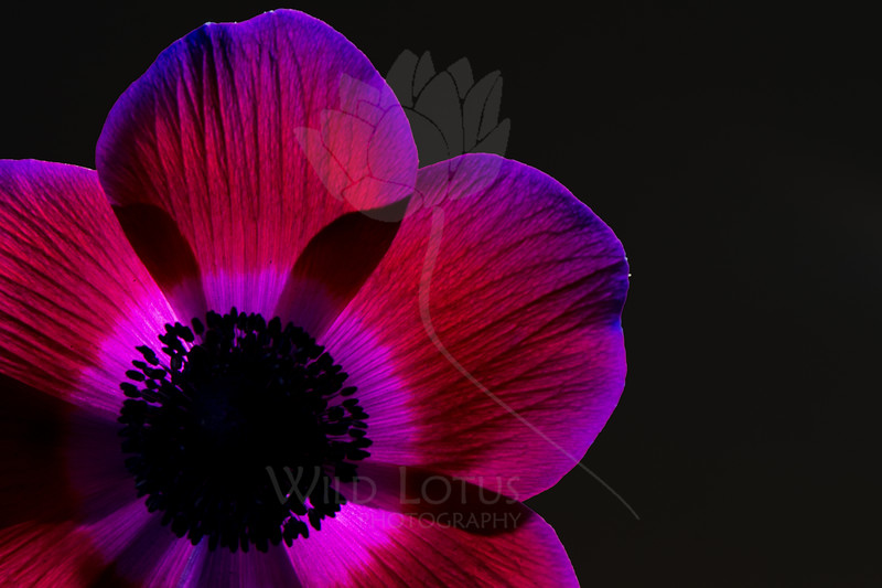 Violet Shine<br /> <br /> Flower pictured :: Anemone<br /> <br /> Flower provided by :: Babylon Floral<br /> <br /> 012614_003341 ICC sRGB 16x24 pic