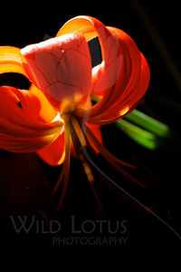 Flower pictured :: Colorado Lily  Flower provided by :: Tagawa Gardens  060615_009533 iCC sRGB 16x24 pic