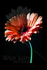 Flower pictured :: Gerber Daisy<br /> <br /> 022912_002610 ICC adobe 16in x 24in pic