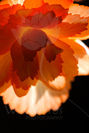 """May Everyone Be Happy""   Flower pictured :: Begonia  Flower provided by :: Tagawa Gardens  061012_011368 ICC sRGB 16in x 24in pic"