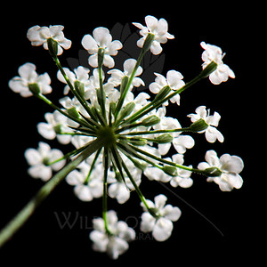 Lace Sky  Flower pictured :: Queen Anne's Lace  Flower provided by :: ??  091612_001801 ICC sRGB 16in x 16in pic