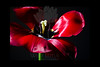 Flower pictured :: Tulip<br /> <br /> 022412_002265 ICC adobe 16in x 24in pic 20in x 30in matte