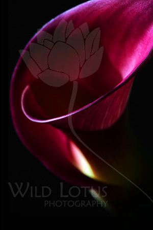 Noir  Flower pictured :: Calla Lily  Flower provided by :: Babylon Floral  102712_004645 ICC sRGB 16in x 24in pic