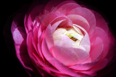 Bubblegum Sky  Flower pictured :: Ranunculus  Flower provided by :: Whole Foods on University Blvd  041912_006285 ICC sRGB 16in x 24in pic