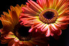 Flowers pictured :: Gerbera Daisies<br /> <br /> Flowers provided by :: Babylon Floral<br /> <br /> 042113_010509 ICC sRGB 16x24 pic