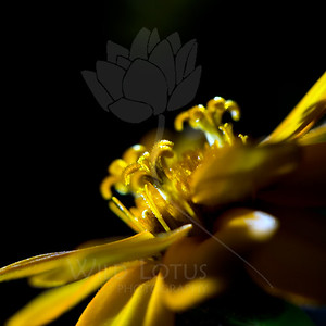 Flare  Flower pictured :: Marigold  Flower provided by :: Tagawa Gardens  041115_008219 ICC sRGB 16x16 pic