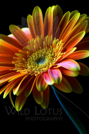Cheer   Flower pictured :: Gerbera Daisy  032612_004176 ICC adobe 16in x 24in pic