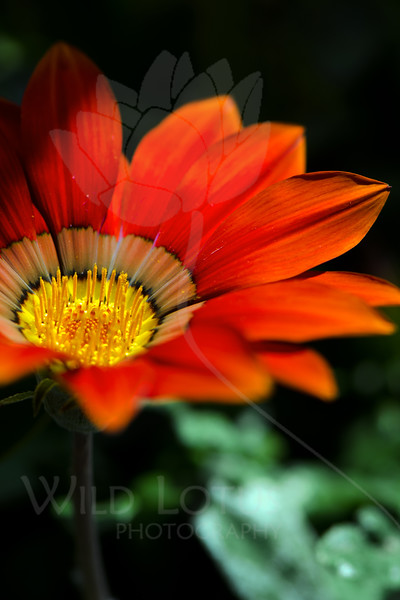 Flower pictured :: Gazania<br /> <br /> Flower provided by :: Tagawa Gardens<br /> <br /> 052812_010214 ICC sRGB 16in x 24in pic