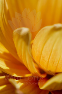 Amber & Honey  Flower pictured :: Dahlia  Flower provided by :: Whole Foods  052815_009110 ICC sRGB 16x24 pic