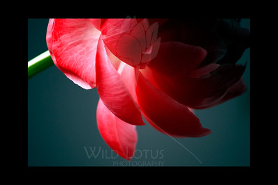 "Look Within  Flower featured in ""A Year In Bloom 2013 Calendar"" and in ""A Year in Pink 2013 Calendar""  Flower pictured :: Peony  111911_000965 ICC adobe 16in x 24in pic 20in x 30in matte"