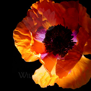 Flower pictured :: Oriental Poppy  Flower provided by :: OTooles  060615_009484 ICC sRGB 24x24 pic