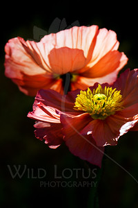 Friends Despite Thorns  Flowers  pictured :: Iceland Poppies  Flowers provided by :: The Gardens @ Highlands Ranch  042713_010721 ICC sRGB 16x24 pic